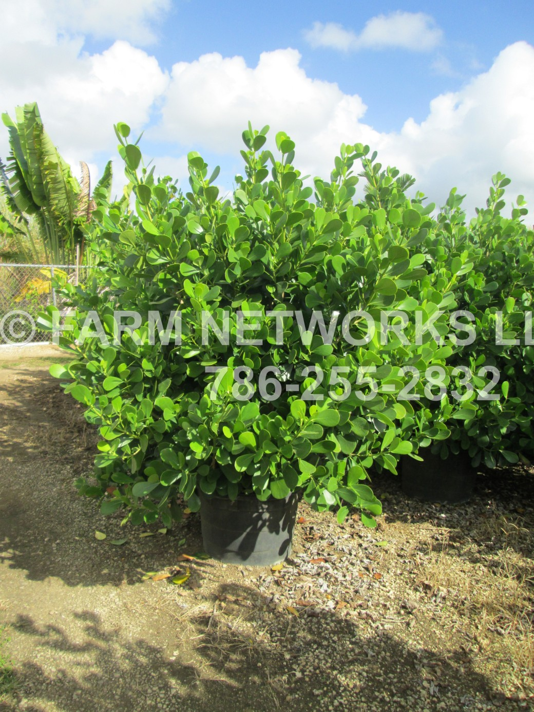 1-Gallon-Clusia-Nursery