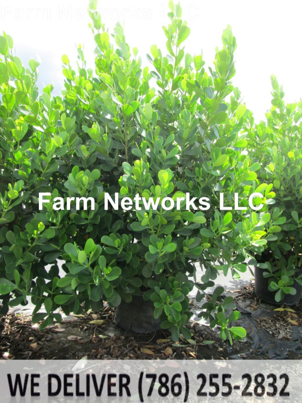 10 Gallon-Clusia Plant Nursery
