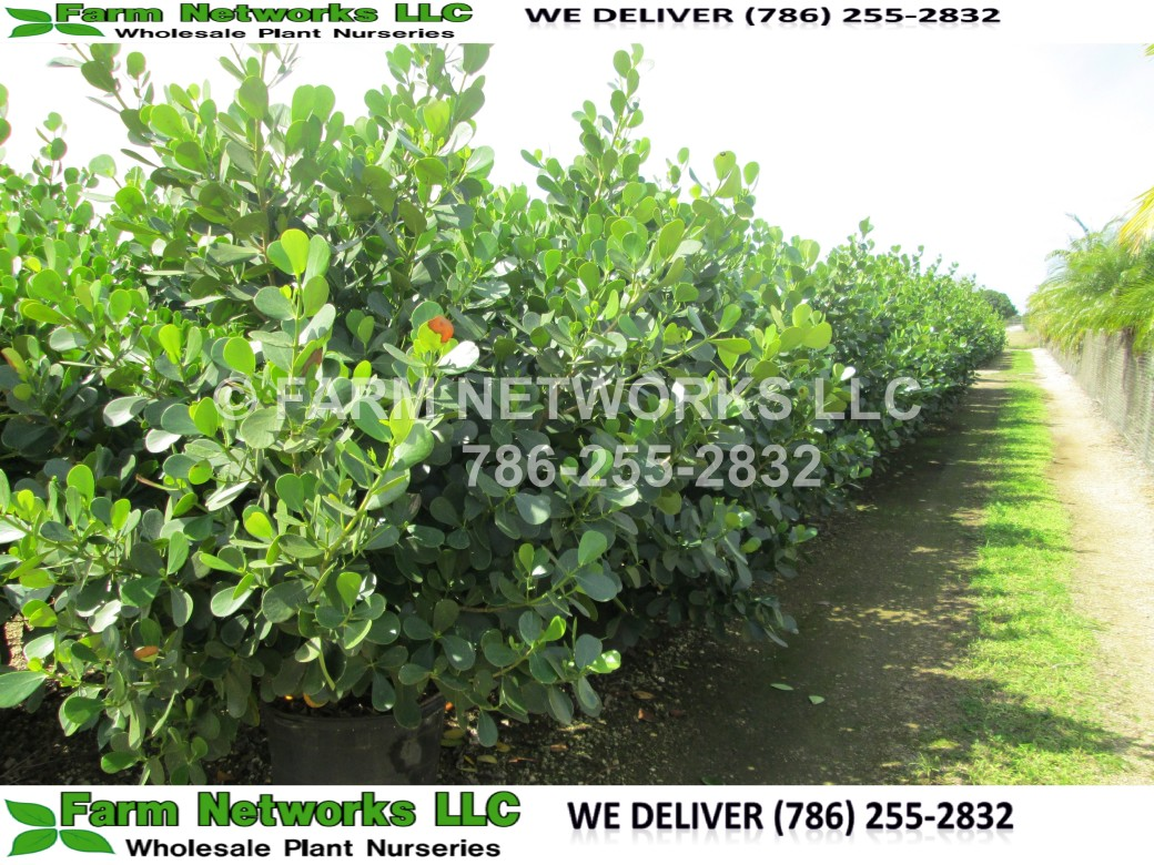 15 Gallon Broward County Hedges