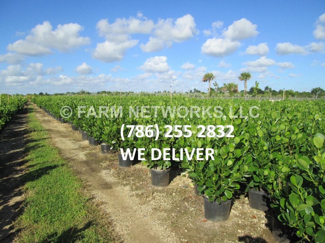 3-Gallon-Clusia-Broward,FL