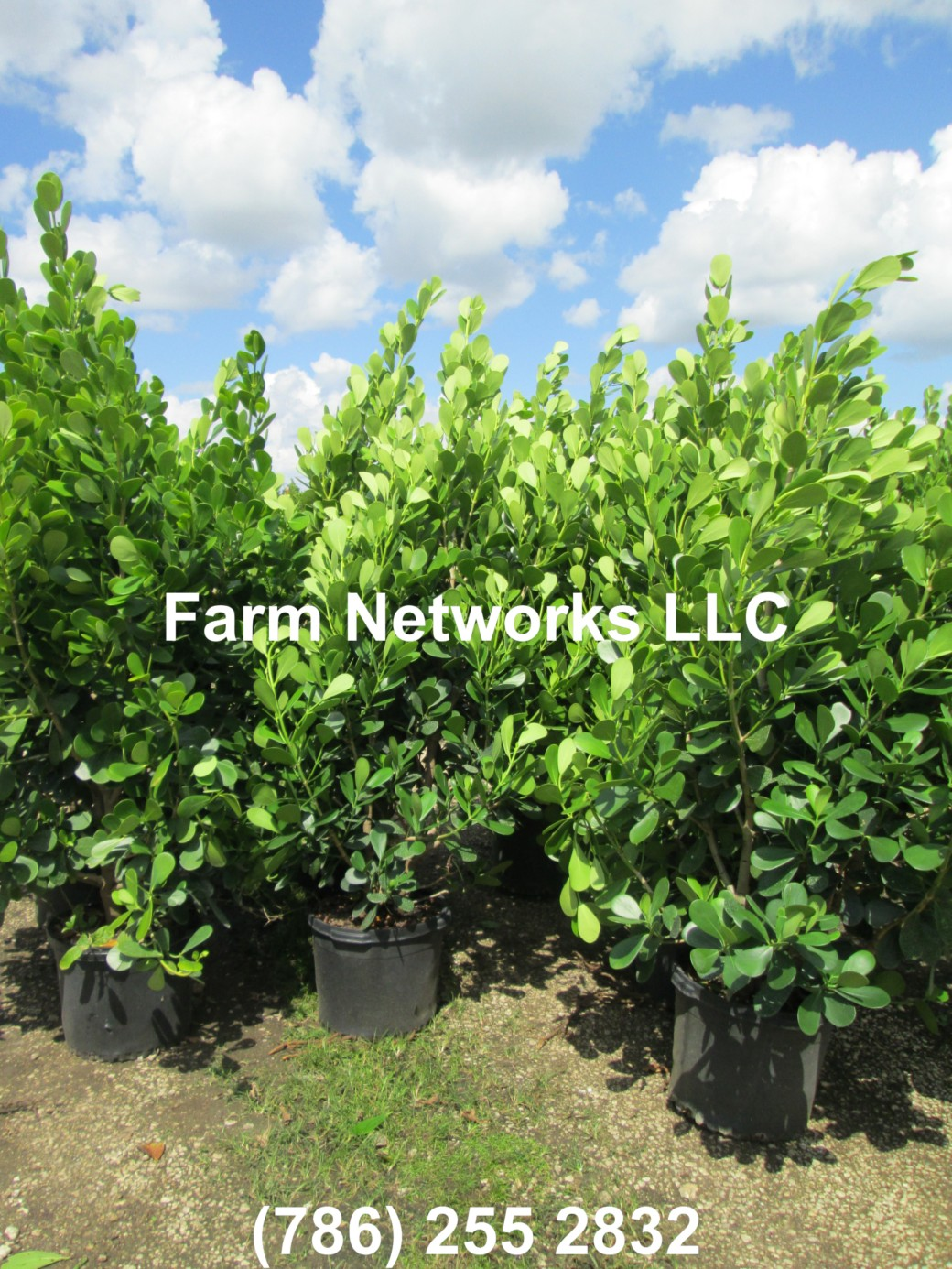 3 Gallon-Clusia Plant Nursery