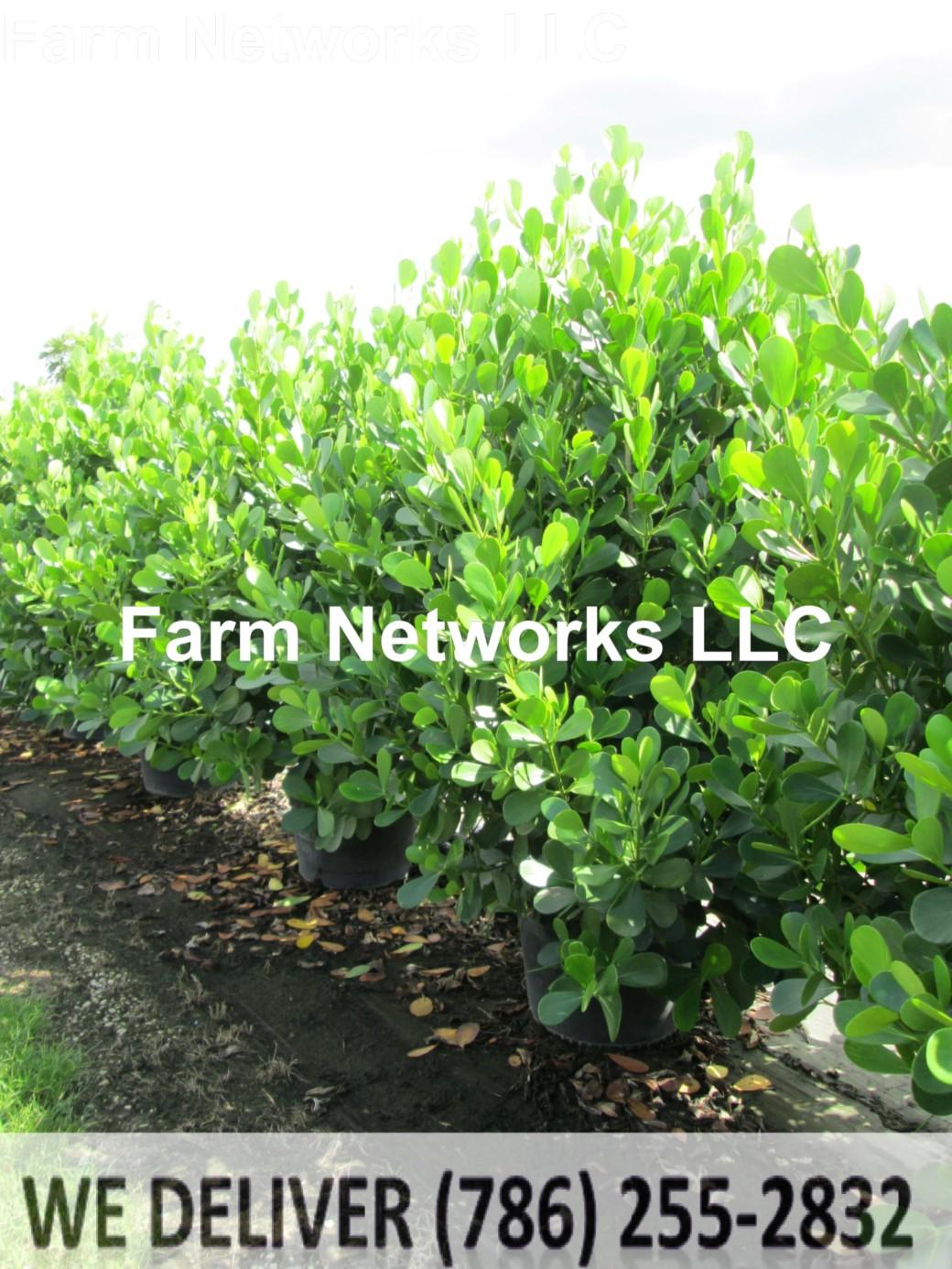45 Gallon-Clusia Plant Nursery
