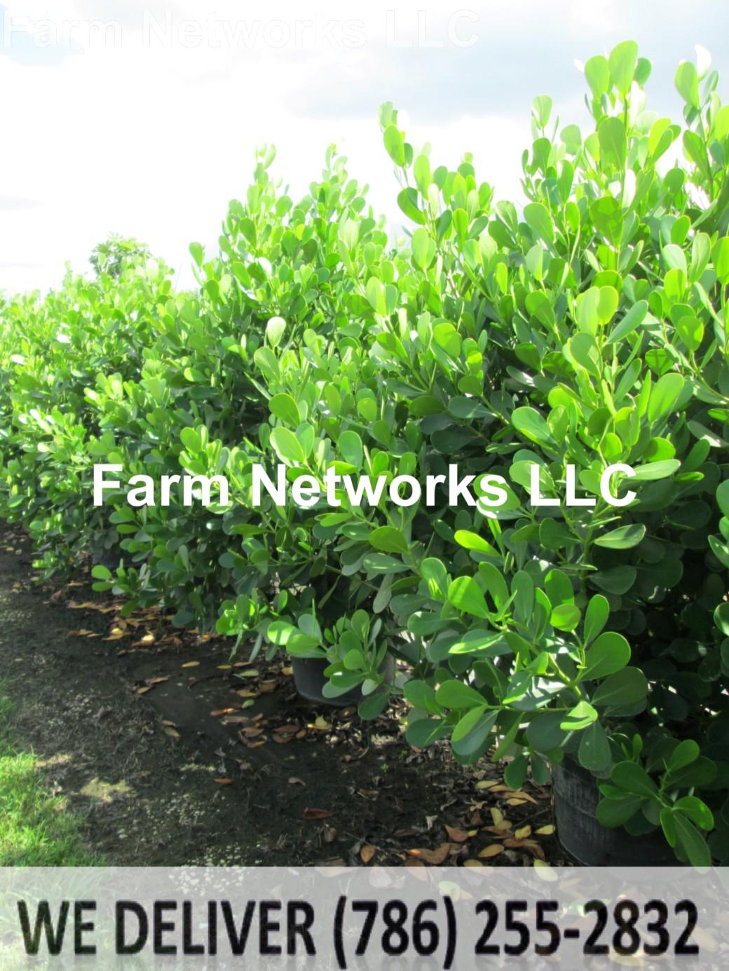 65 Gallon Clusia Hedge Nursery