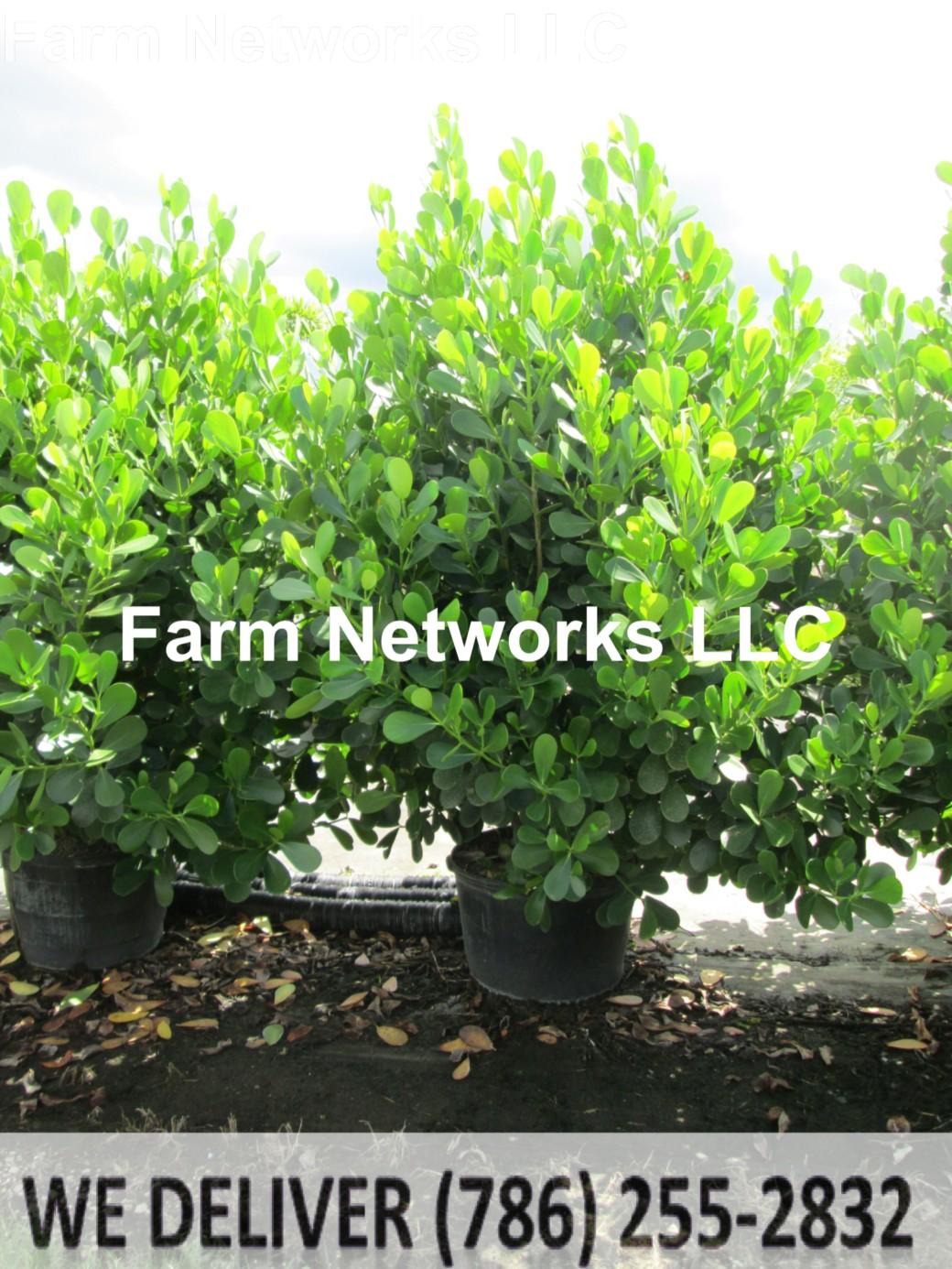 65 Gallon-Clusia Plant Nursery