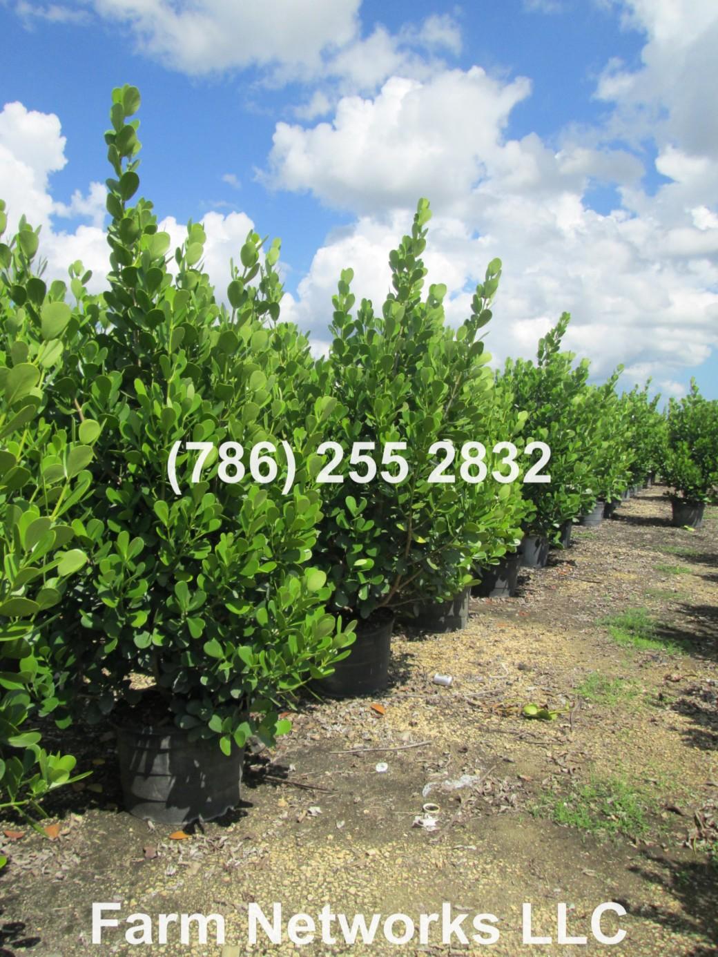7 Gallon Clusia Hedge