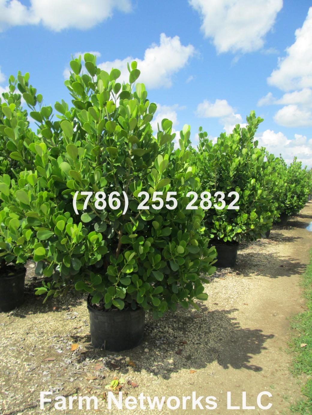 Clusia Hedge Broward
