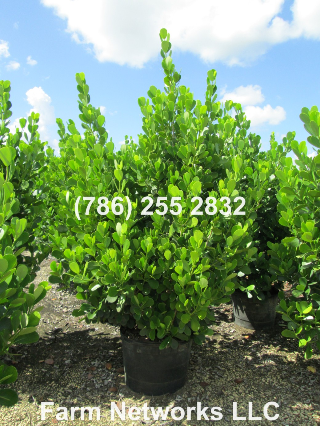 Clusia Hedge Growers