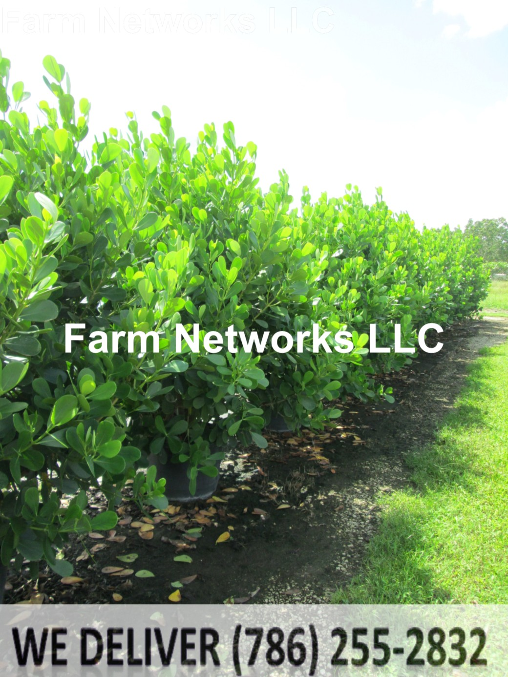 Clusia Hedge Plant Growers