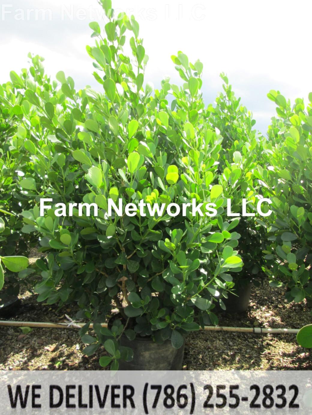 Clusia Hedge Plant Miami