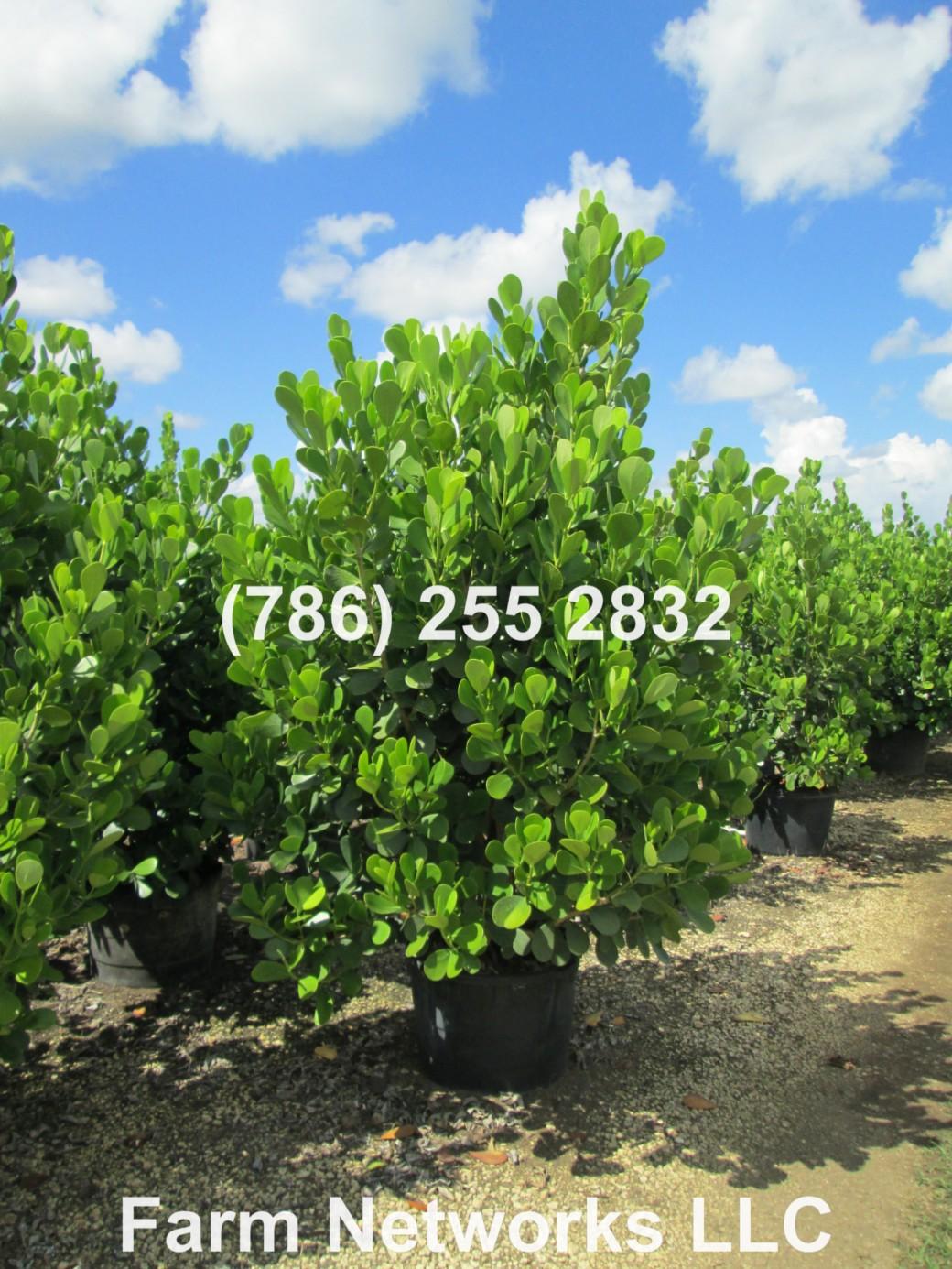 Clusia Hedge Plant Nurseries