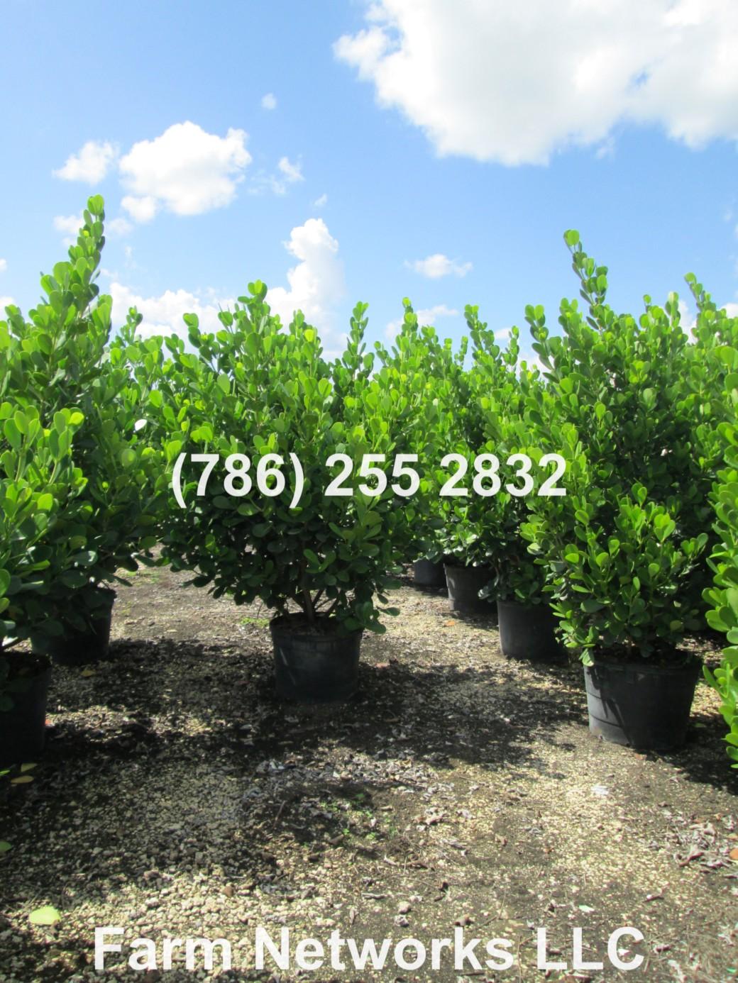 Clusia Hedge Plant Nursery
