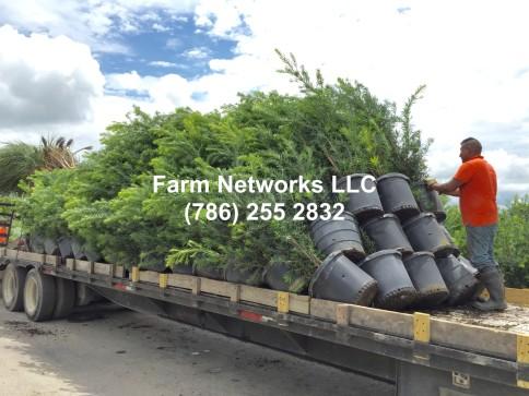 15 Gallon Podocarpus