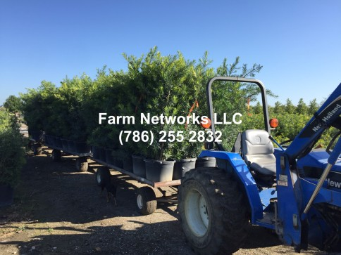 15 Gallon Podocarpus Maki