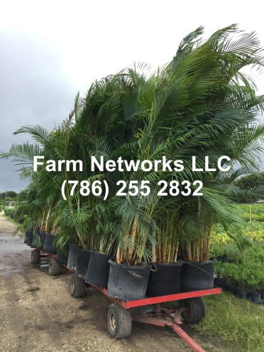 25 Gallon Areca Palm Trees