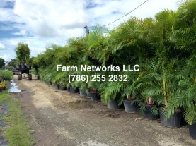 25 Gallon Areca