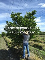 ligustrum tree for sale