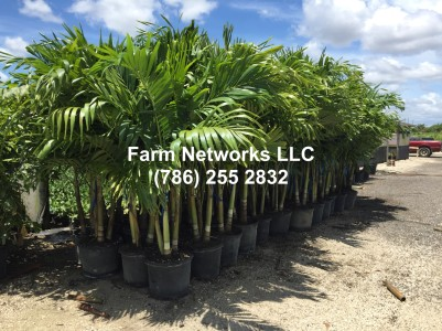 15-Gallon-Christmas Palm Trees-Nursery