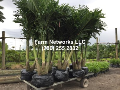 Field Grown Christmas Palm Trees